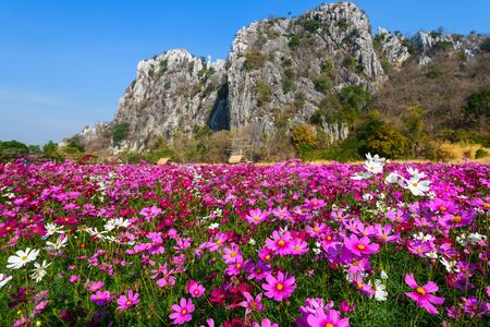 Beautiful pink cosmos field with Limestone mountains and blue sky background at Saraburi, Thailand, flower garden concept