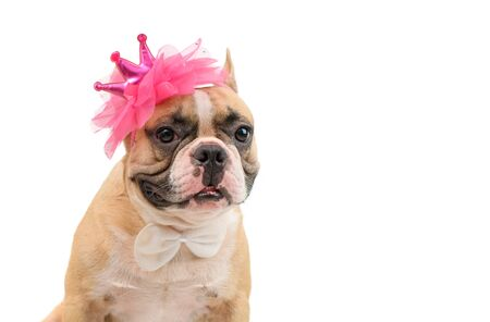 Cute french bulldog  wears a pink headband and white bow tie isolated on white background with clipping path, pet and animal concept