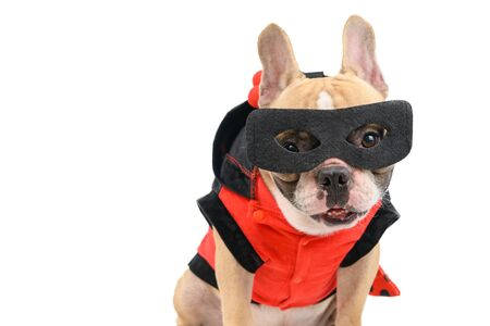 cute french bulldog with a super hero costume isolated on white background. pet and animal concept