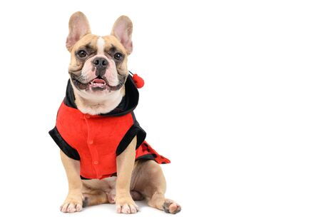 Adorable French Bulldog wearing a cute and funny Ladybug costume isolated on white background, Pet and animal concept