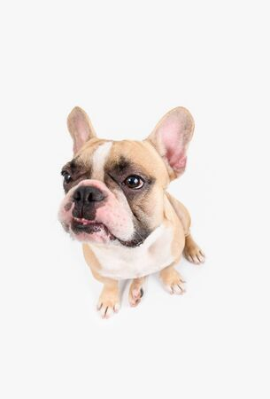 French Bulldog angry and sitting isolated on white background