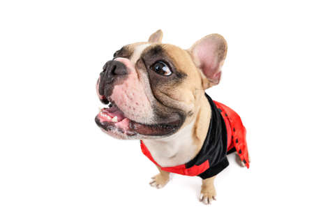 cute french bulldog smile and sitting isolated on white background, pet and animal concept Stockfoto