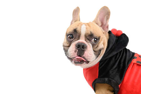 Side view of French Bulldog wearing a cute and funny Ladybug costume isolated on white background, Pet and animal concept