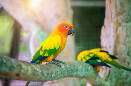 Beautiful Lovebird parrot sitting on branch. This birds lives in the forest and is domesticated to domestic animals