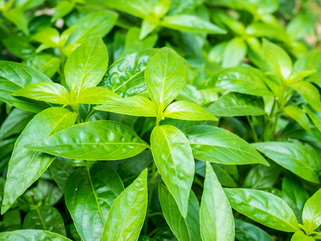 acanthaceae: fresh herbal plant leaves Andrographis paniculata ( Burm.f. ) Wall ex Nees Stock Photo