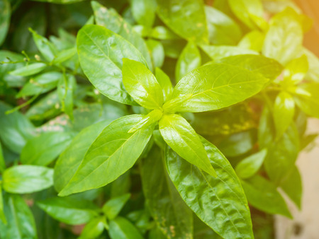 fresh herbal plant leaves Andrographis paniculata ( Burm.f. ) Wall ex Nees Stock Photo