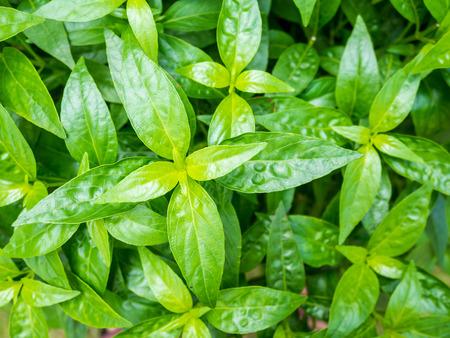 verse kruiden bladeren van de planten Andrographis paniculata (Burm.f.) Wall ex Nees
