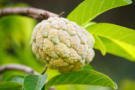 custard apple fruit: Custard apple fruit on green tree in the garden, tropical fruit