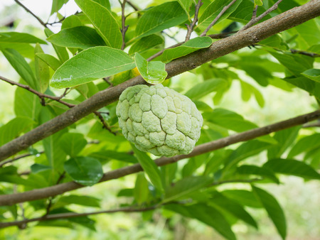squamosa: Custard apple fruit on green tree in the garden, tropical fruit
