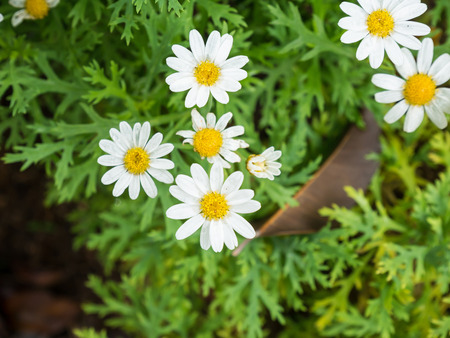 chamomile flower: chamomile flower white color