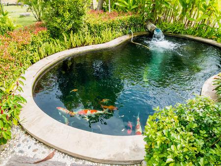 fancy carp koi fish in koi pond in the garden