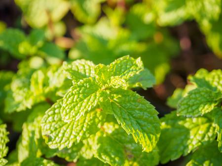 field mint: Fresh mint plant at organic vegetable garden Stock Photo