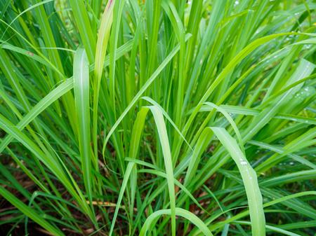 Water drop on Fresh Lemon grass herbal plant green leaf background