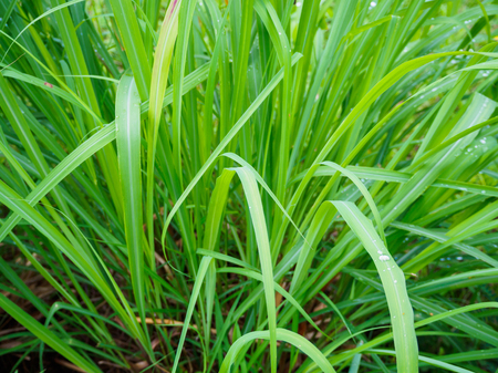 Citronella Stock Photos And Images 123rf