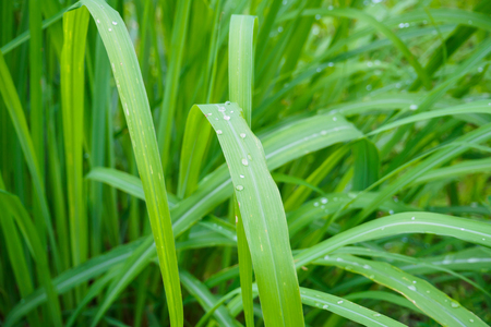 Water drop on Fresh Lemon grass herbal plant green leaf background