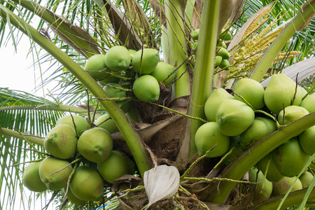 Fresh Coconut cluster on coconut tree Stock Photo
