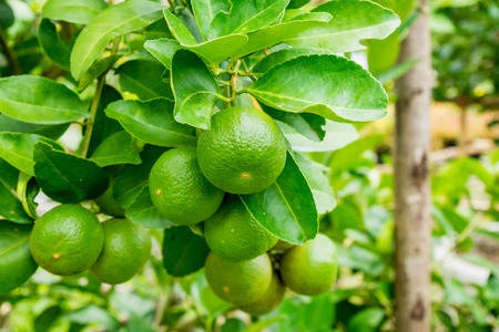 Fresh green lemon limes on tree in organic garden