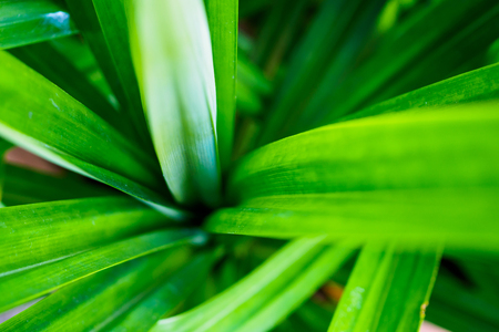 Green Pandan leaves plant close up  Stock Photo