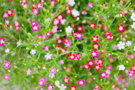 Beautiful Babysbreath gypsophila flowers on green meadow
