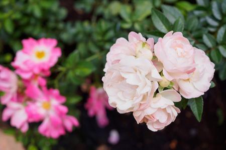 Beautiful fresh natural roses in flower garden Stock Photo