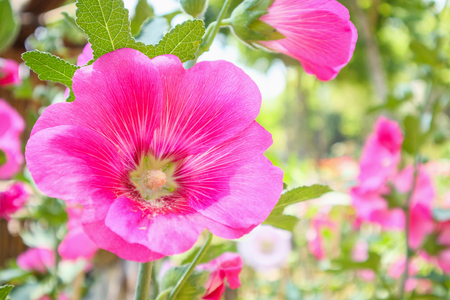 Beautiful Pink flower hollyhock blossoms decorate in garden Stock Photo