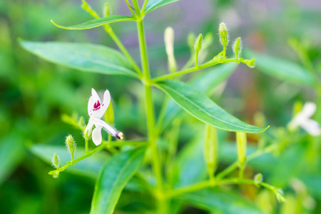 Andrographis paniculata fresh Thai herbal medicine herbs organic plant leaves and flower, closeup