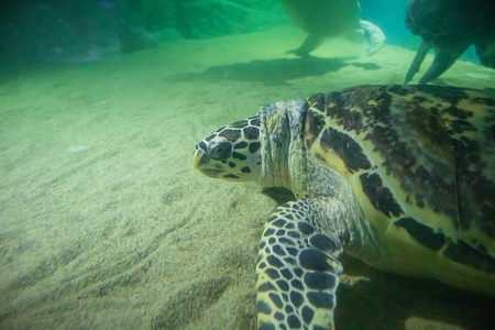 sea turtle swim underwater