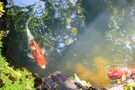 colorful fancy carps koi fish in garden pond