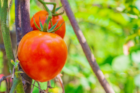 Ripe red tomato in organic garden