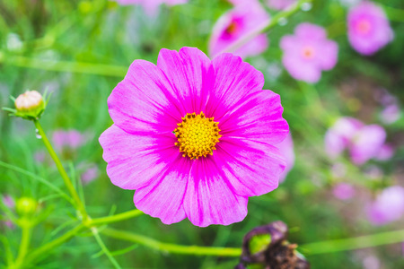 Cosmos flower in the garden, closeup