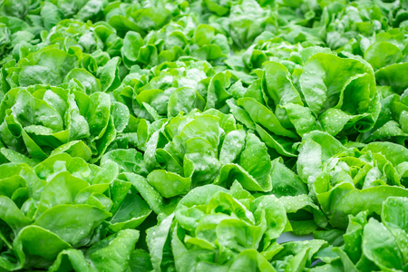 Fresh organic green leaves lettuce salad plant in hydroponics vegetables farm system Standard-Bild