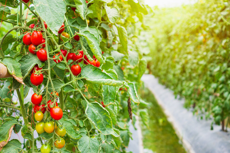 Fresh ripe red tomatoes plant growth in organic garden ready to harvest Фото со стока