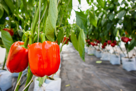 Fresh red bell peppers with green leaves growing in agricultural greenhouse garden