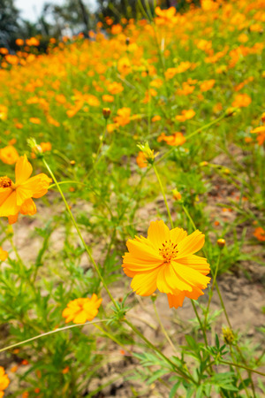 cosmos flowers in the field Stockfoto
