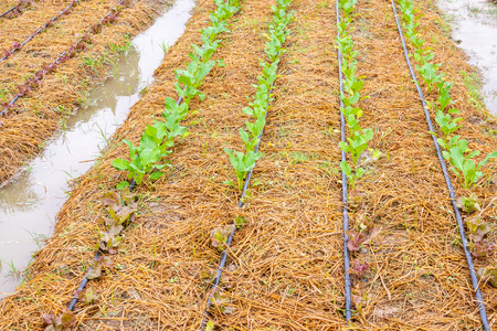 Fresh green vegetable plant in organic garden with water drip irrigation system