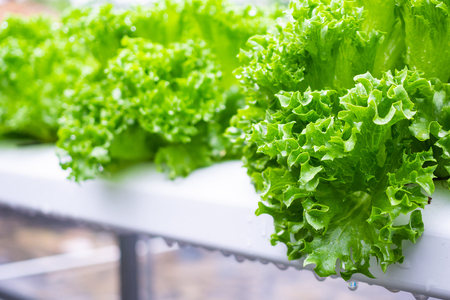 Planta de ensalada de lechuga de hojas verdes orgánicas frescas en sistema de granja de vegetales hidropónicos Foto de archivo