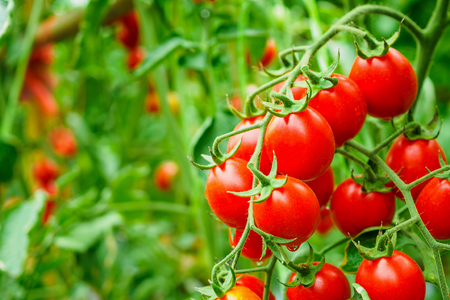 Fresh ripe red tomatoes plant growth in organic greenhouse garden ready to harvest Reklamní fotografie