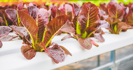 Fresh organic red leaves lettuce salad plant in hydroponics vegetables farm system Stock Photo