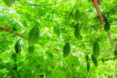 Bittermelone oder Momordica charantia-Pflanze im Bio-Garten