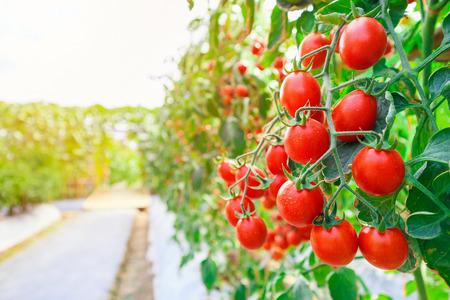 Verse rijpe rode tomaten plantengroei in biologische kastuin klaar om te oogsten