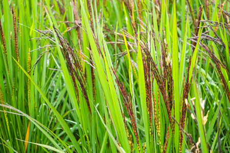 riceberry plant in green organic rice paddy field