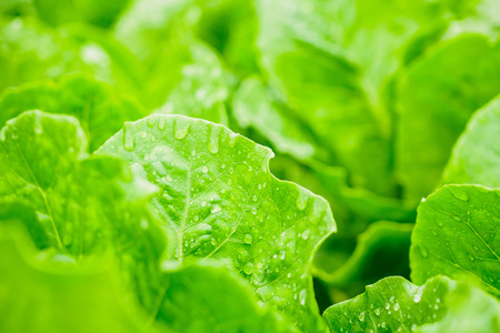 Fresh organic green leaves cos romaine lettuce salad plant in hydroponics vegetables farm system Zdjęcie Seryjne