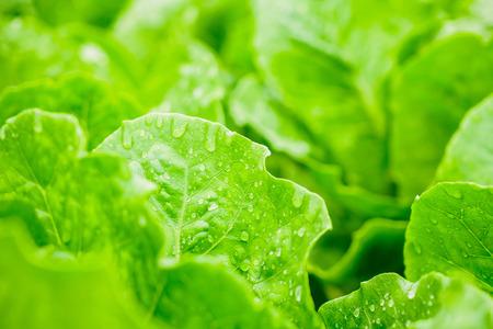 Fresh organic green leaves cos romaine lettuce salad plant in hydroponics vegetables farm system Zdjęcie Seryjne - 121707808