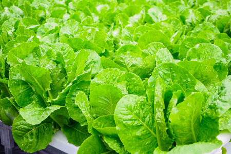 Fresh organic green leaves cos romaine lettuce salad plant in hydroponics vegetables farm system Banco de Imagens