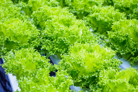 Fresh organic green leaves lettuce salad plant in hydroponics vegetables farm system Zdjęcie Seryjne