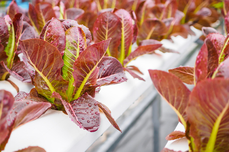 Fresh organic red leaves lettuce salad plant in hydroponics vegetables farm system Banco de Imagens