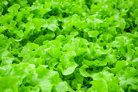 Closeup Fresh organic green leaves lettuce salad plant in hydroponics vegetables farm system Zdjęcie Seryjne - 122274071