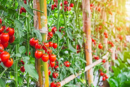Crescita di piante di pomodori rossi maturi freschi in un giardino di serra organico pronto per la raccolta