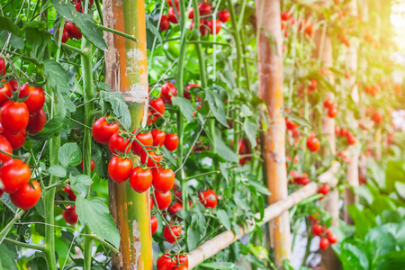 Fresh ripe red tomatoes plant growth in organic greenhouse garden ready to harvest Фото со стока - 123599485