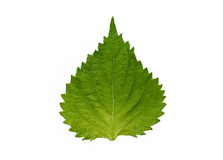 Fresh Green Oba leaf isolated on white background